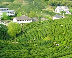 Tea Plantation Meijiawu